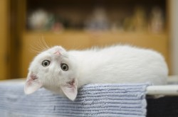 Baltas katinas